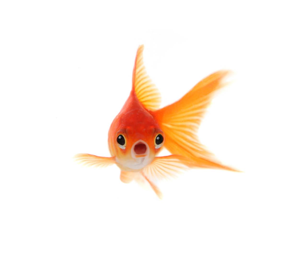 goldfish-animal-myths.jpg